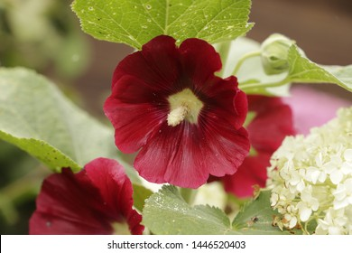 Beauties in the summer are the Hollyhock flowers