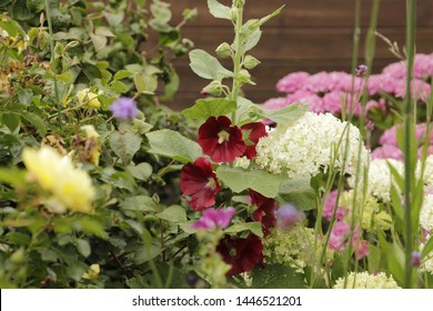 Beauties in the summer are the Hollyhock flowers and Hydrangea flowers