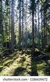 Beautifil backlit spruce tree forest with moss covered floor