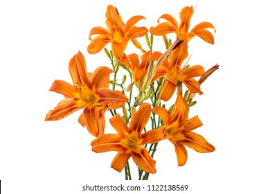 Beautifil bouquet of fresh orange day lily, orange daylily, roadside daylily, tawny daylily, tiger daylily, Close up of a Hemerocallis fulva in bloom on white background