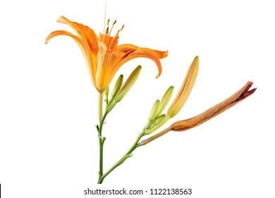 Beautifil fresh orange day lily, orange daylily, roadside daylily, tawny daylily, tiger daylily. Close up of a Hemerocallis fulva in bloom on white background