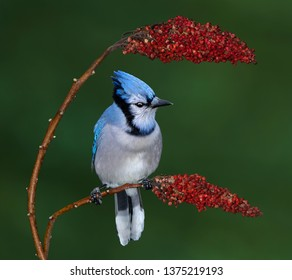A beautifly bluejay is perched between two sumac blooms.