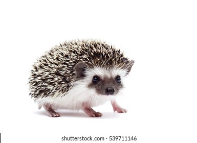 beautifu,funl and young African hedgehog baby girl sitting on a white background isolated