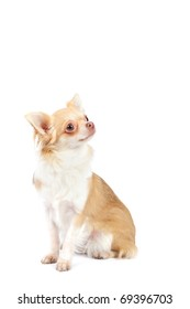 Beautiful 1 year old  chihuahua in studio in front of a white background