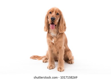 Beautiful 11 month old Golden Cocker Spaniel puppy sitting against a white background with his tongue sticking out