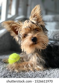 "Beautiful 4 month old female purebred Yorkie puppy named ""chief"""