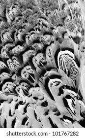 Beautiful abstract background close up consisting of chinese ringneck pheasant feathers in black and white