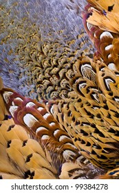 Beautiful abstract background close up consisting of chinese ringneck pheasant feathers