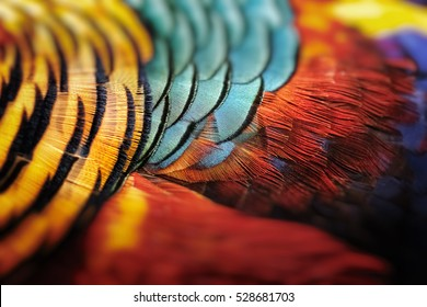 Beautiful abstract background consisting of golden pheasant ,feather Golden pheasant, Red golden pheasant, Chinese pheasant