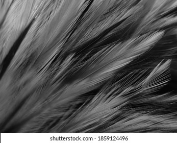 Beautiful abstract black feathers on white background and soft white feather texture on white pattern, dark theme wallpaper, gray feather background, black banners