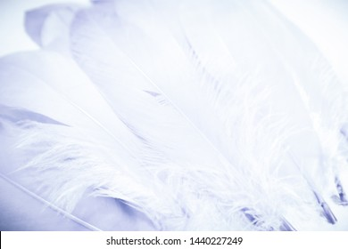 Beautiful abstract close up color purple light and white feathers background and wallpaper