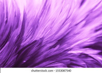 Beautiful abstract colorful blue black red and pink feathers on dark background and soft white purple feather texture on white pattern