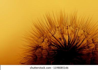 Beautiful abstract macro photo of dandelion seeds