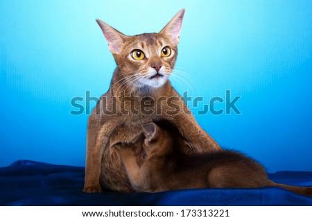Little Abyssinian Cat