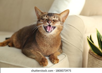 Beautiful Abyssinian cat on sofa at home. Lovely pet