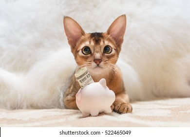 Beautiful Abyssinian cat with piggy bank