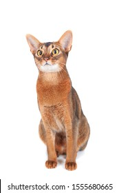 Beautiful abyssinian cat portrait isolated on white, cat is interestedly looking