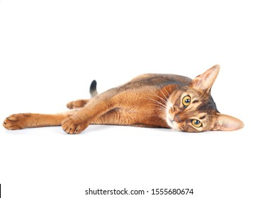 Beautiful abyssinian cat portrait isolated on white, cat lies stretched out and looks at the camera