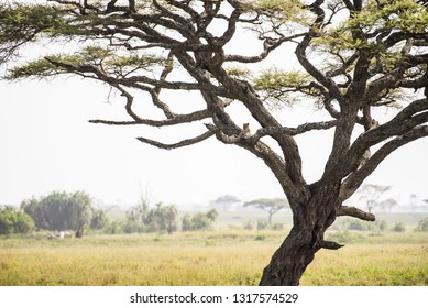 Beautiful acacia tree with a leopard resting on the branch