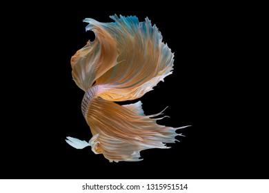 Beautiful action halfmoon betta fish. Closeup capture moving moment beautiful of betta fish, siamese betta fish in thailand on black background.