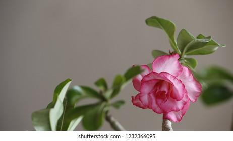 Beautiful adenium pink flower,adenium obesum