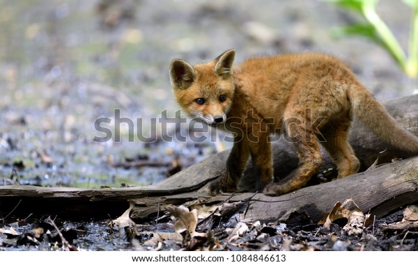Beautiful and adorable baby fox. This beautiful baby fox let me get close and was not shy, it was an amazing experience I will never forget.