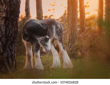 beautiful adorable blue blagdon foal filly stallion horse breed irish cob, traditional gypsy cob, gypsy vanner, tinker in spring forest with sunset