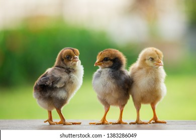 Beautiful and adorable three chicks on the farm and on nature background pattern, little chicken on the farm for concept design and decoration
