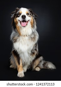 Beautiful adult Australian Shephard dog sitting up elegant, looking at lens with brown with blue spotted eyes. Mouth open showing tongue. Isolated on black background.