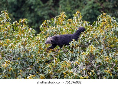 Beautiful adult Binturong (Arctictis binturong), known as bearcat, high angle view, side shot, foraging fruits of banyan tree in moist montane forest, Mae Wong National ParK, north of Thailand.