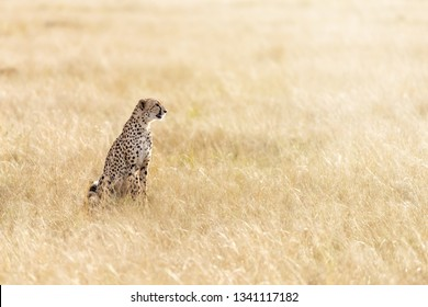 Beautiful adult cheetah in the long grass of the Masai Mara, Kenya. This sleek big cat is sitting in profile in early morning sunlight.Space for text