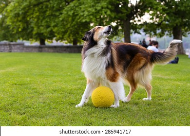 Beautiful adult collie dog playing with a ball in the park