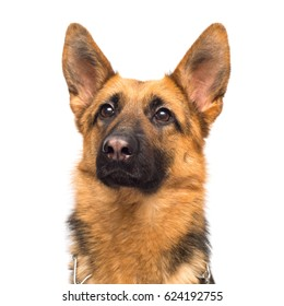 Beautiful adult german shepherd posing isolated on white background. Fluffy dog close-up of brown and black color