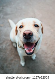 Beautiful adult golden labrador dog. Doggy smiling. He's feeling hot at summer.