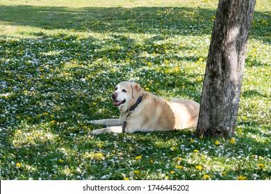 Beautiful adult labrador retriever dog lying down on the grass, under a tree