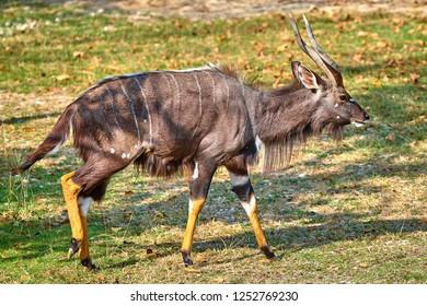 Beautiful adult male of Nowland nyala(Tragelaphus angasii)