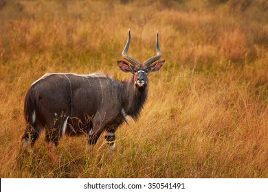 Beautiful adult male of Nyala Tragelaphus angasii with big horns staring directly at the camera in dry savanna on pasture. Colorful early morning backlight. KwaZulu Natal, South Africa.
