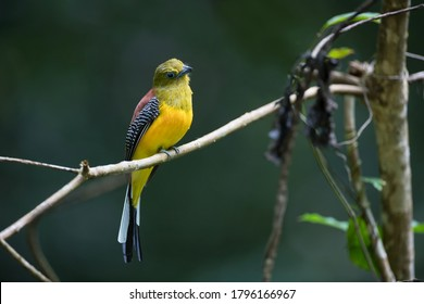 Beautiful adult male Orange-breasted trogon, uprisen anglebview, front shot, in the morning perching comfortably on the branch in nature of tropical forest in national park of Thailand.