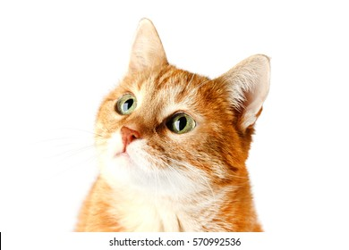 Beautiful adult red cat isolated on white background. Cat Muzzle