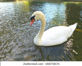 a beautiful adult white swan defending its lake. The swan is looking at the camera ready to attack because one in entering into its natural space. The face os the swan shows it is angry. Horizontal.