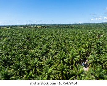 Beautiful aerial view of the African Palm tree with a rustic road in the middle in Costa Rica
