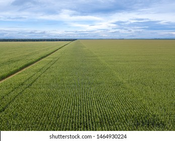 Beautiful aerial view of Cornfield in clear summer day. Agriculture, harvest and farm concept. Genetically modified and transgenic corn for export, produced in Mato Grosso, Brazil.