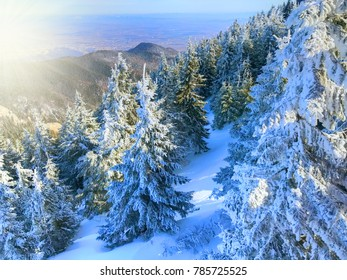 Beautiful aerial view of pine forest loaded with snow in winter season, in Poiana Brasov, Romania