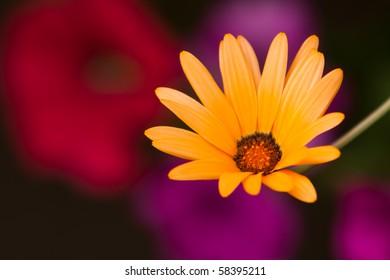 A beautiful African Daisy -osteospermum Kenai Pineapple Blush - on colorful background