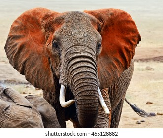 Beautiful African elephants in Tsavo Park in Kenya