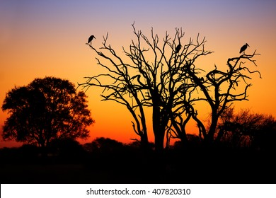 Beautiful African landscape, black silhouetted trees with group of marabou storks on branches against colorful orange and blue sunset sky in national park Hwange, Zimbabwe.