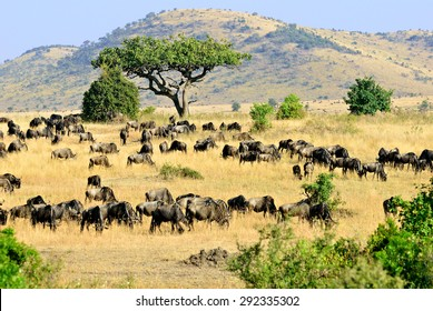 Beautiful african landscape in Masai Mara, Kenya at sunset time. Big tree and wildebeest antelopes