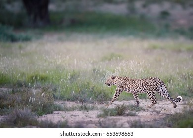 Beautiful African Leopard, Panthera pardus walking in early morning Kalahari. Leopardess in typical Kgalagadi green season environment against blurred grass on the dune. Kgalagadi, South Africa.