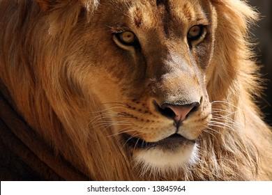 Beautiful African Lion closeup.