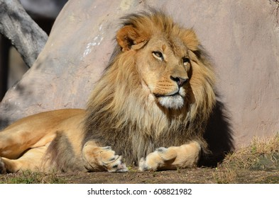 Beautiful African lion resting in the warm sunlight.